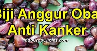Biji Anggur