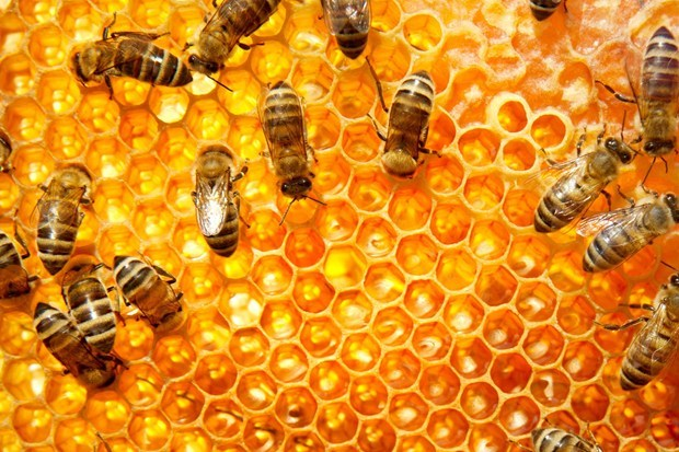 Lebah madu menyerbuki 90% dari semua tanaman berbunga di Amerika Serikat dan minimal 30 % dari seluruh tanaman di dunia.