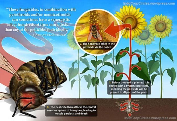 Toksisitas sub-nanogram neonicotinoid mengakibatkan kegagalan lebah untuk kembali ke sarang tanpa mematikannya secara langsung, sebagai gejala utama dari CCD (colony collapse disorder).