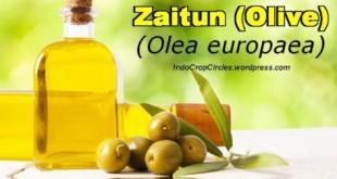Zaitun (Olea europaea) adalah pohon kecil tahunan dan hijau abadi, yang buah mudanya dapat dimakan mentah ataupun sesudah diawetkan sebagai penyegar. Buahnya yang tua diperas dan minyaknya diekstrak menjadi minyak zaitun yang dapat dipergunakan untuk berbagai macam keperluan. Zaitun adalah anggota suku Oleaceae.